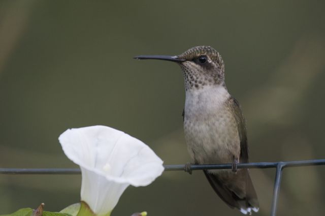 ruby-throated-hummingbird-archilochus-colubris-female