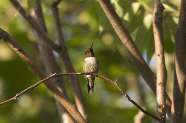 ruby-throated-hummingbird_0