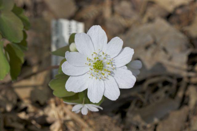 rue-anemone-anemonella-thalictroides