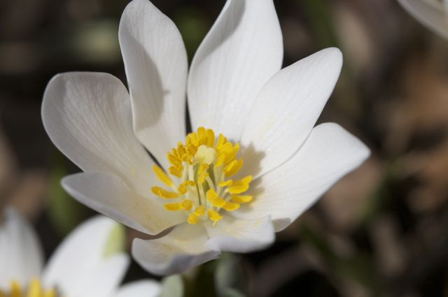 sanguinaria-canadiensis
