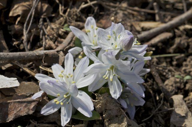 scilla-siberica-alba-in-woods_0