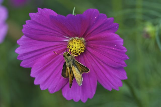 skipper-butterfly-on-cosmos