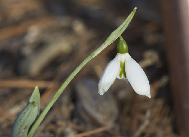snowdrop-in-jan