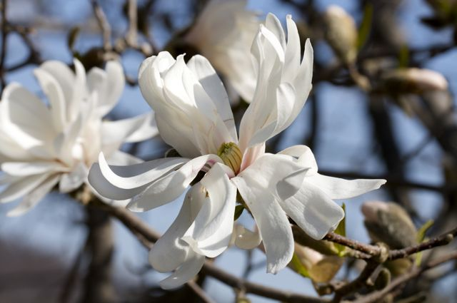 star-magnolia-fully-open