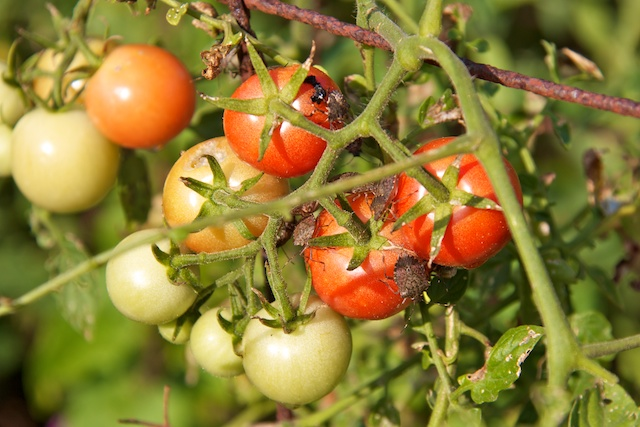 stinkbugs-on-the-tomatoes