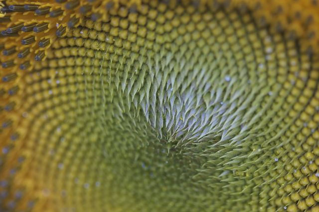 sunflower-closeup-2