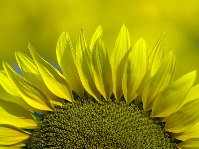 sunflower-rays_0