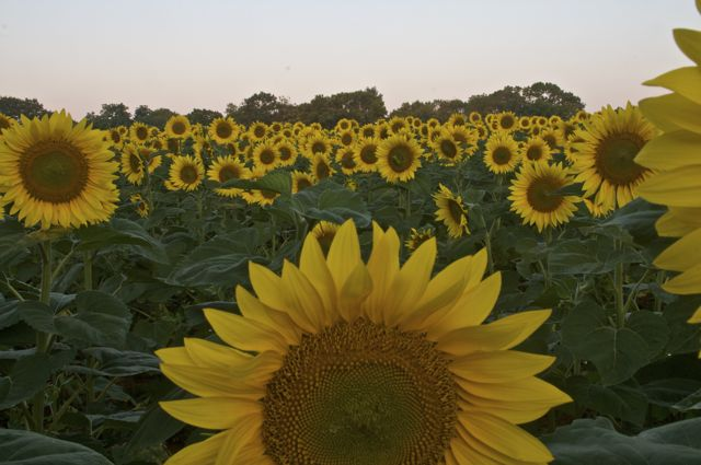 sunflowers-before-dawn-2