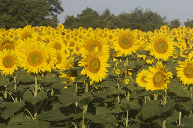 sunflowers-in-the-light_0
