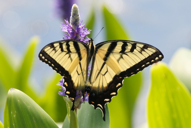 swallowtail-at-lilypons