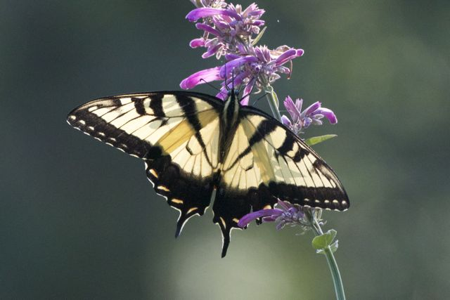 swallowtail-on-agastache