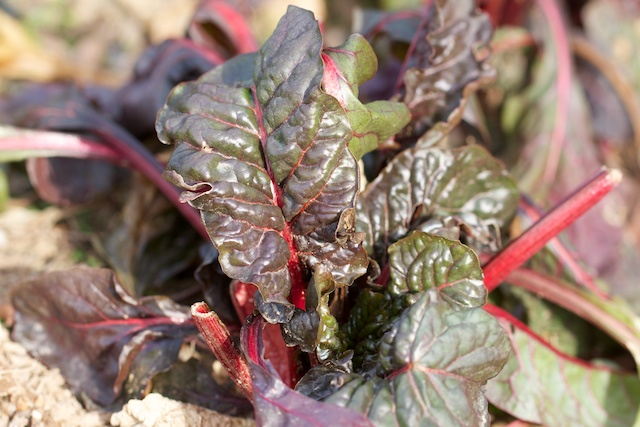 swiss-chard-still-surviving