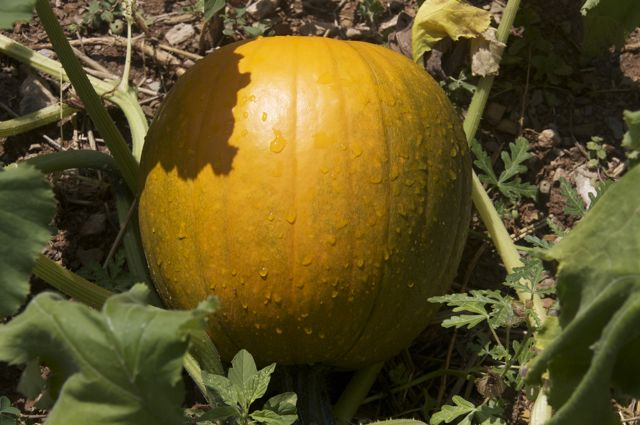 this-years-pumpkin