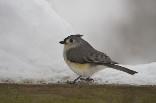 titmouse-in-snow