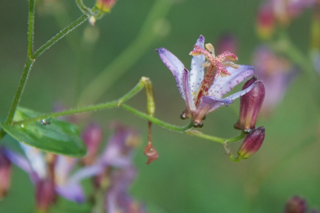 toad-lily_0