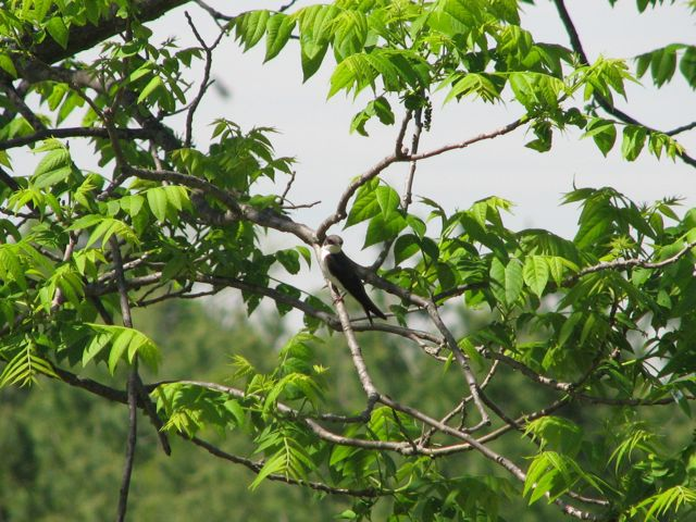 tree-swallow-in-black-walnut