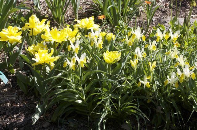 tulip-monte-carlo-and-iris-bucharica_0