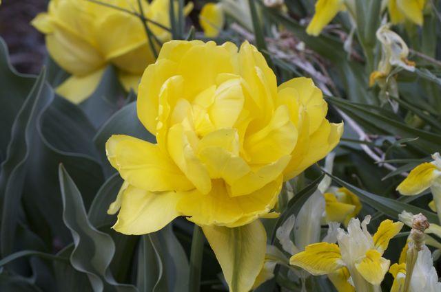 tulip-monte-carlo-flower_0