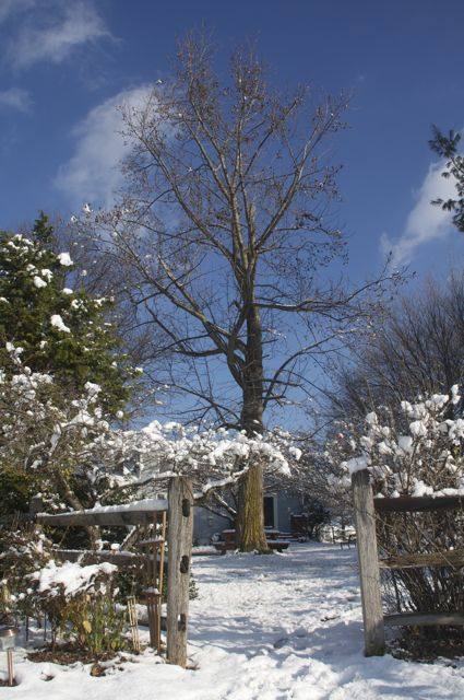 tulip-poplar-in-the-snow