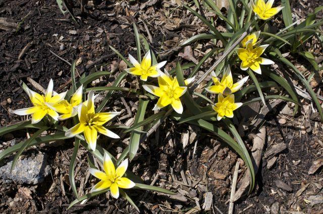 tulipa-daystemon