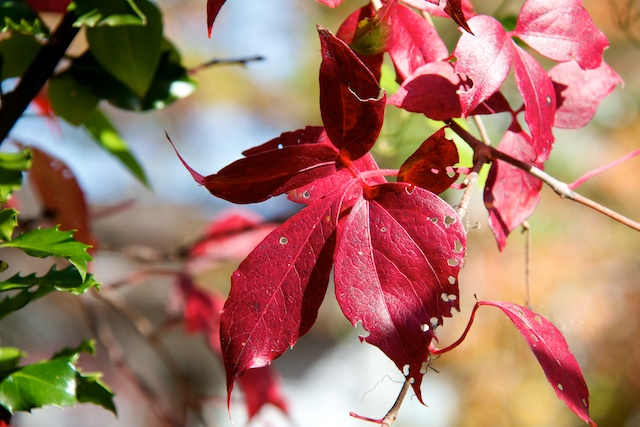 virginia-creeper_0