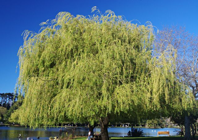 weeping_willow_0