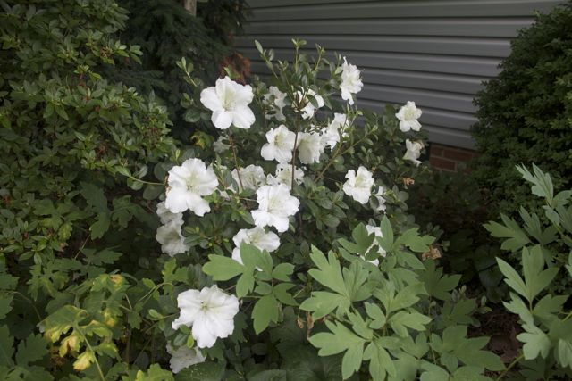 White Azalea is striking