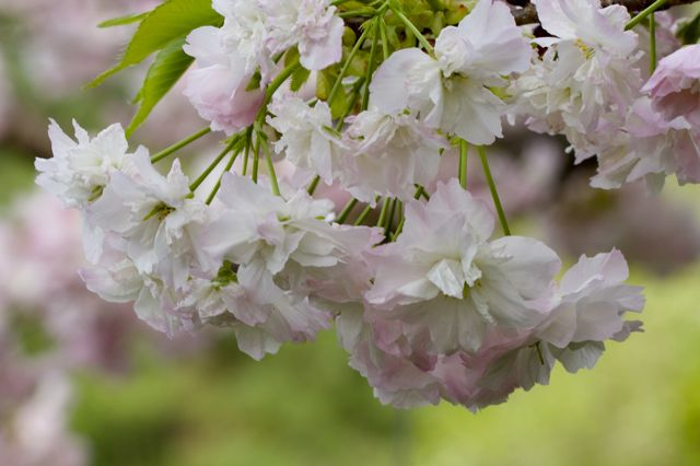 white-double-flowered-cherry-detail