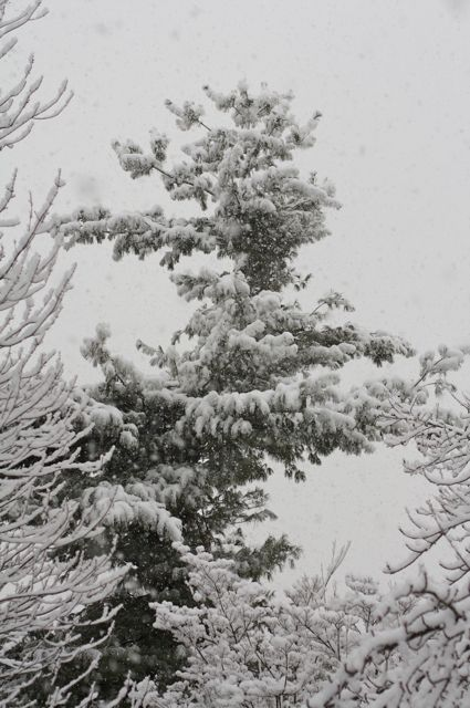 white-pine-as-snow-was-falling