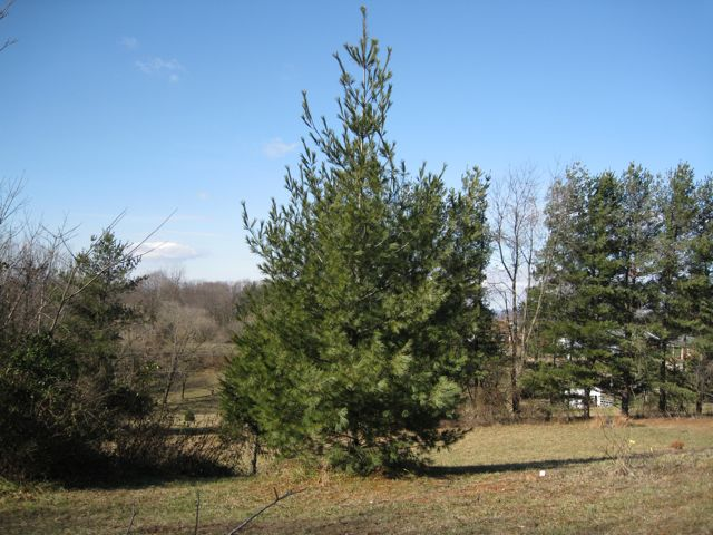 white-pine-by-slope