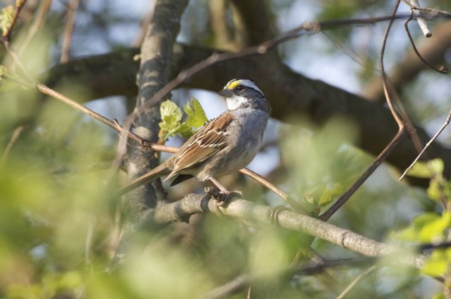 white-throated-sparrow_0