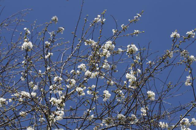 wild-cherry-branches