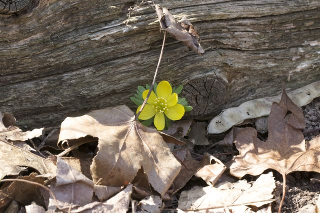 winter-aconite-naturalizing
