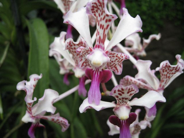 wisley-orchids-4