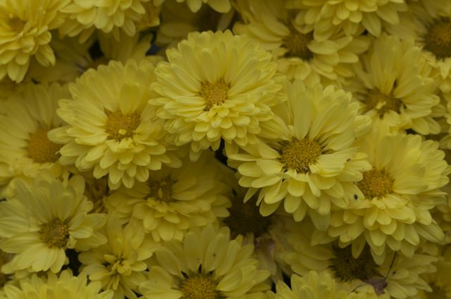 yellow-chysanthemum