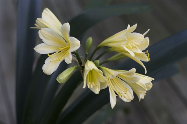 yellow-clivia