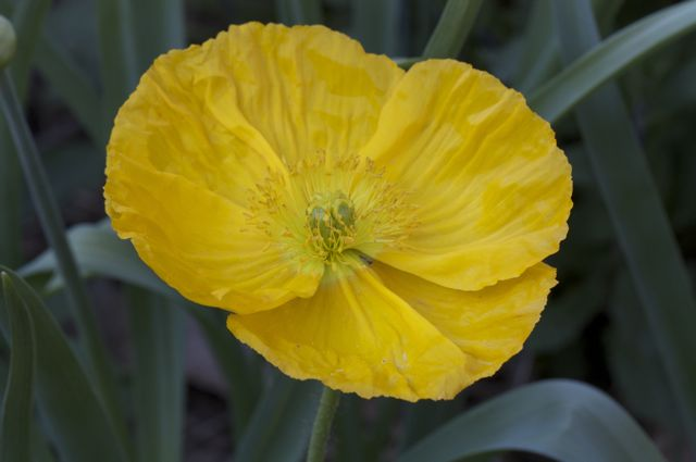 yellow-iceland-poppy