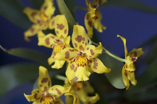 yellow-oncidium