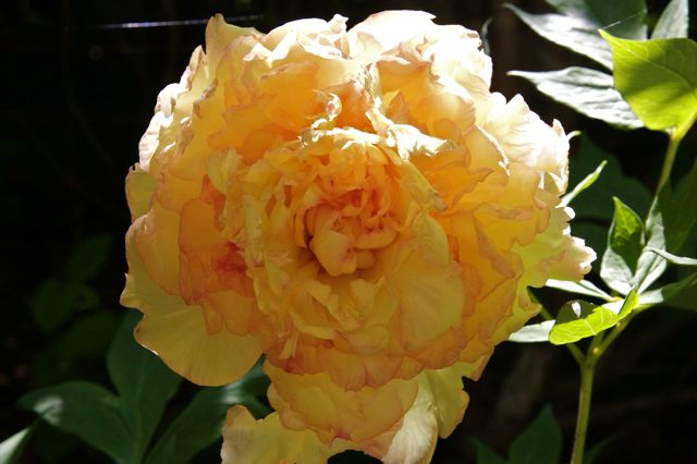 yellow-orange-tree-peony