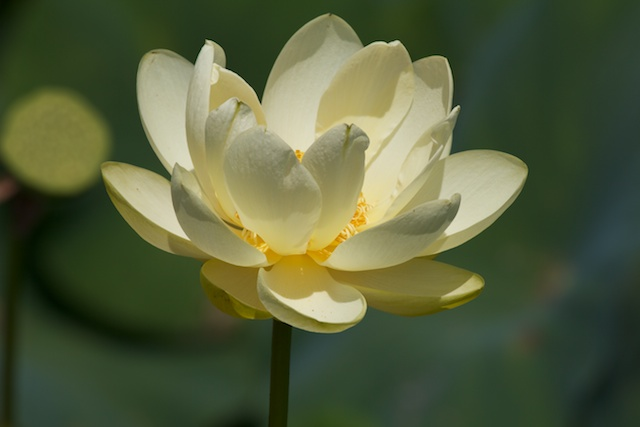 yellow-white-waterlily_0