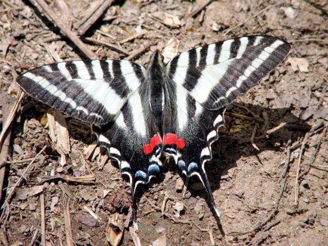 zebra-swallowtail-2_0