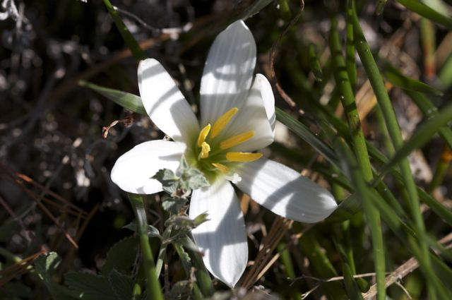 zephyr-lily-zephyranthes-candida_0