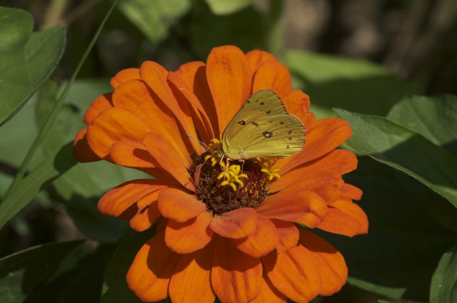 zinnia-and-butterfly