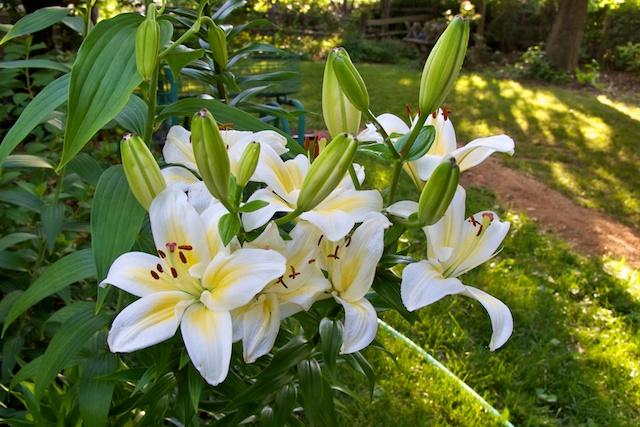 Cream White Lily