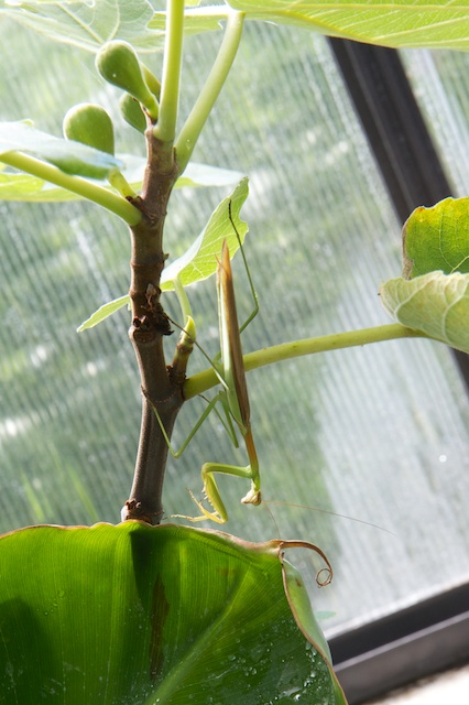 Preying Mantis between fig and banana