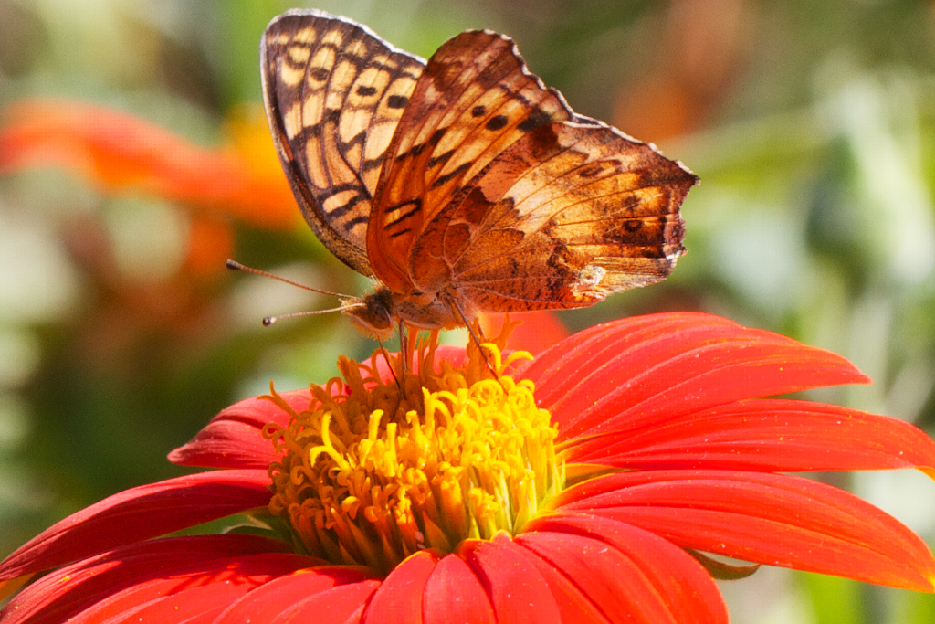 Butterfly on Tithonia