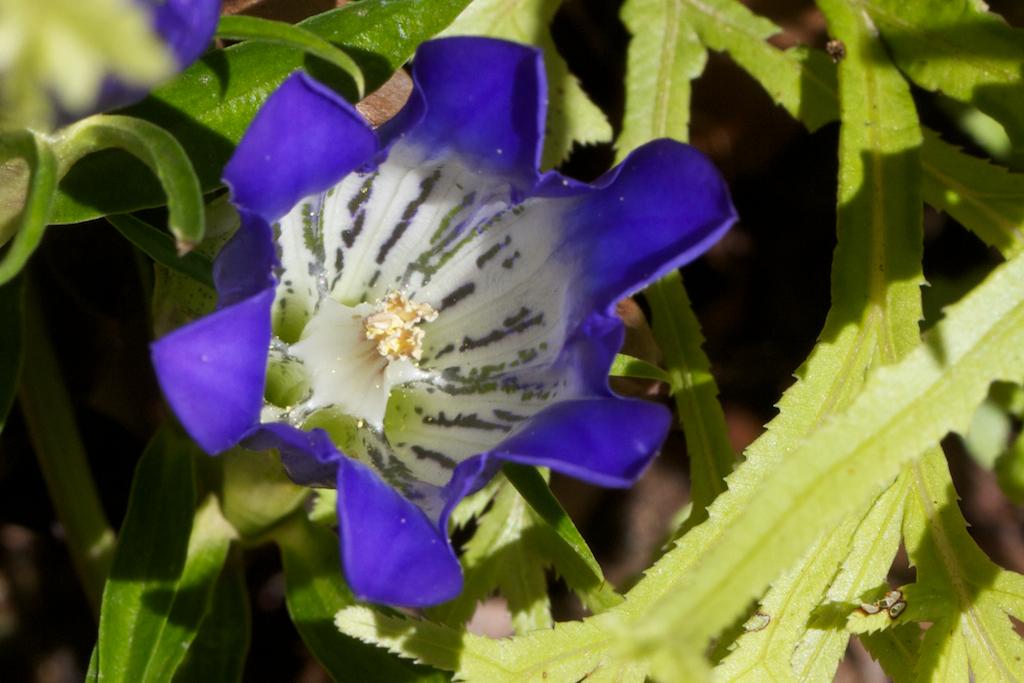 Gentiana 'True Blue' on the inside
