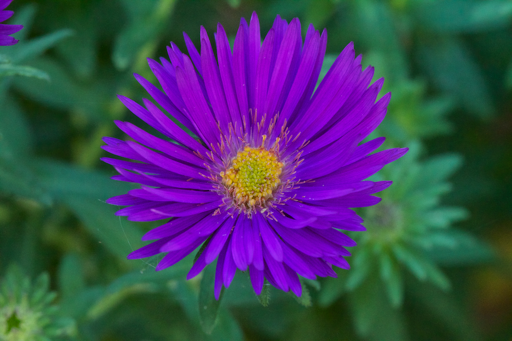 New England Aster Purple