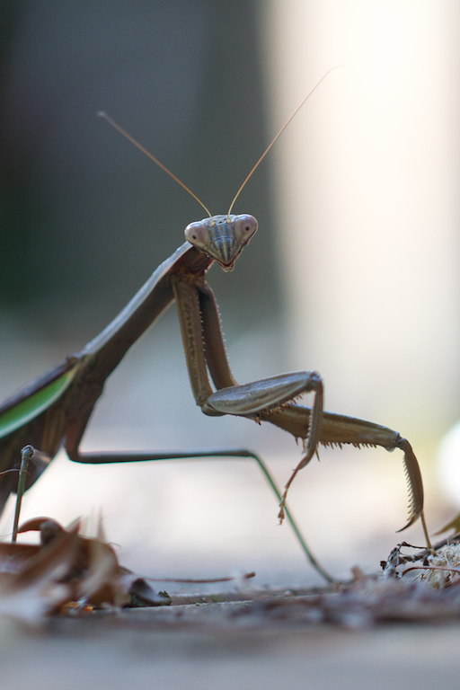 Praying Mantis face-on