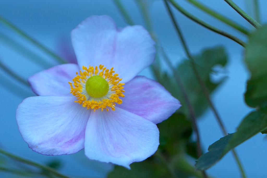 Anemone × hybrida 'September Charm'